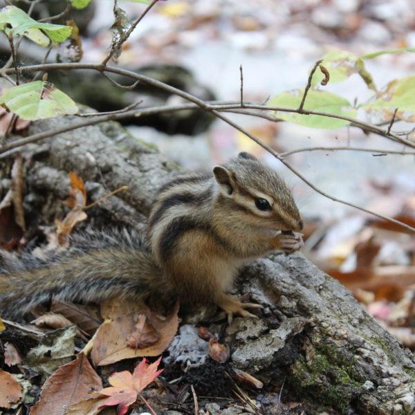 سنجاب الغابة الكورية Korean Jungle Squirrel