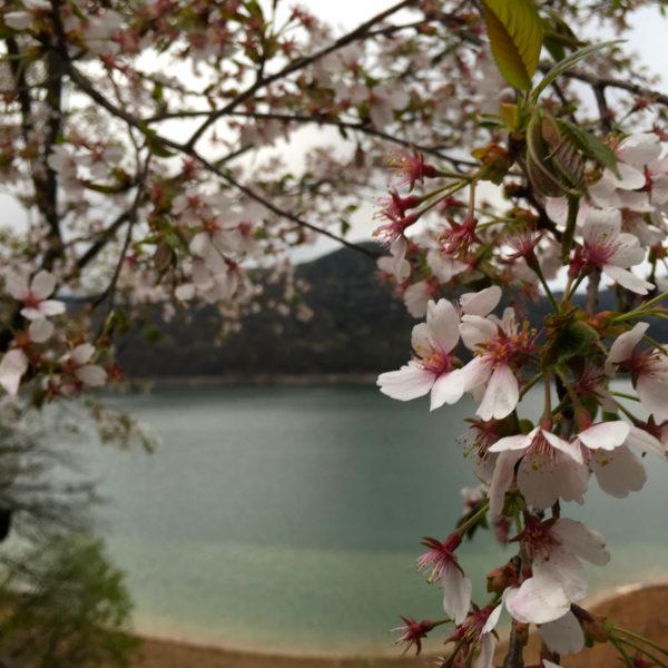 أشجار الكرز 2 Blossom Flower