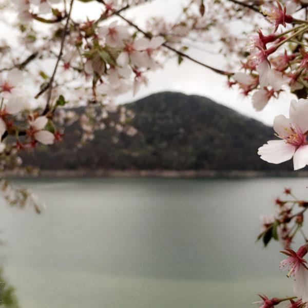 أشجار الكرز 1 Blossom Flower