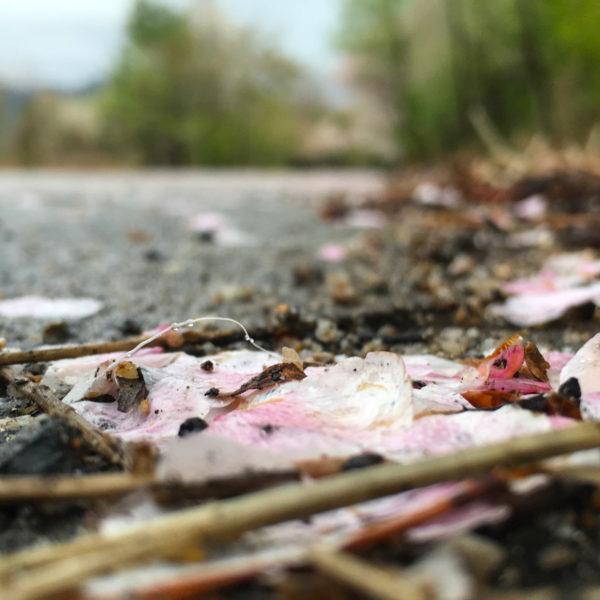 أوراق الكرز المحطّمة Broken cherry blossom